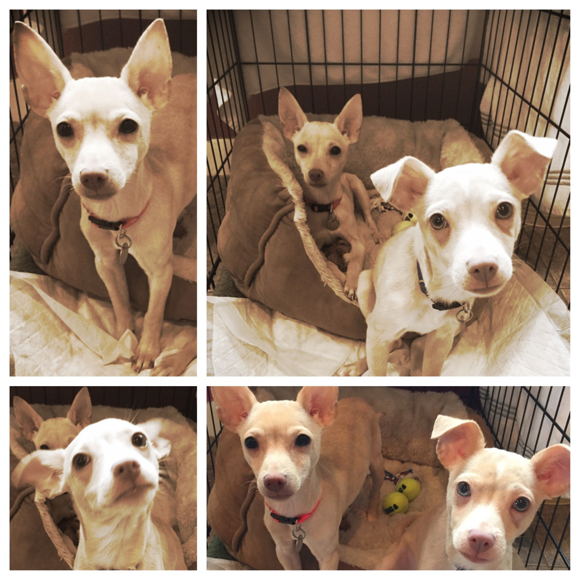 **Adopted** Paulie and Davie Chihuahua puppies found in