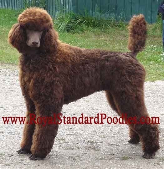 Standard Poodle Puppies For Sale Standard Poodle Poodle Puppy