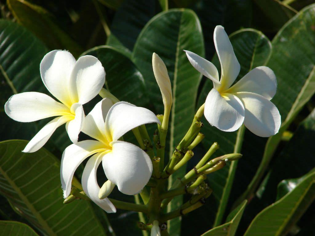 Plumeria Alba White Frangipani World Of Flowering Plants Plumeria Container Flowers Plants