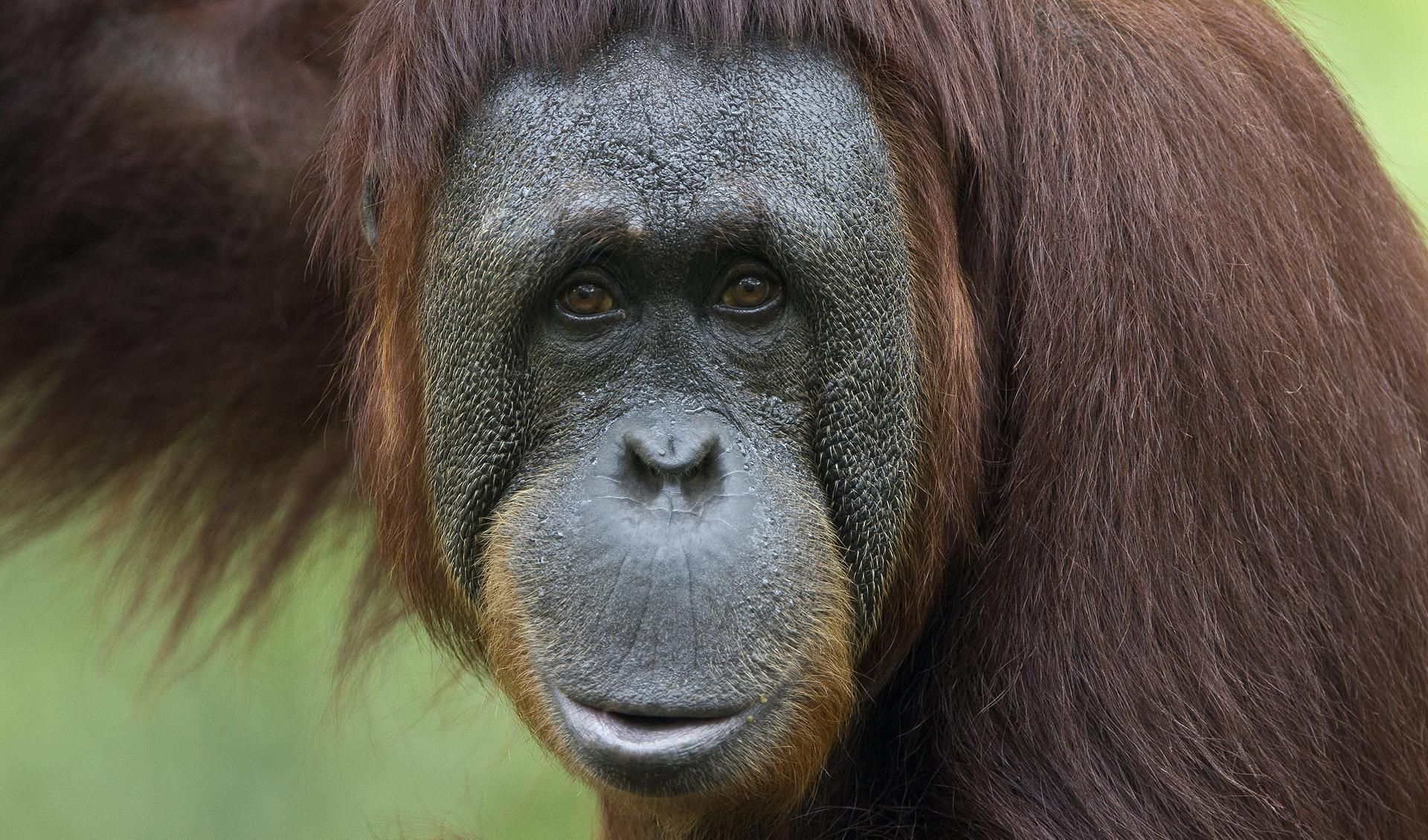 Orangutan Hd Wallpapers Animal Wallpapers Pinterest Monkey