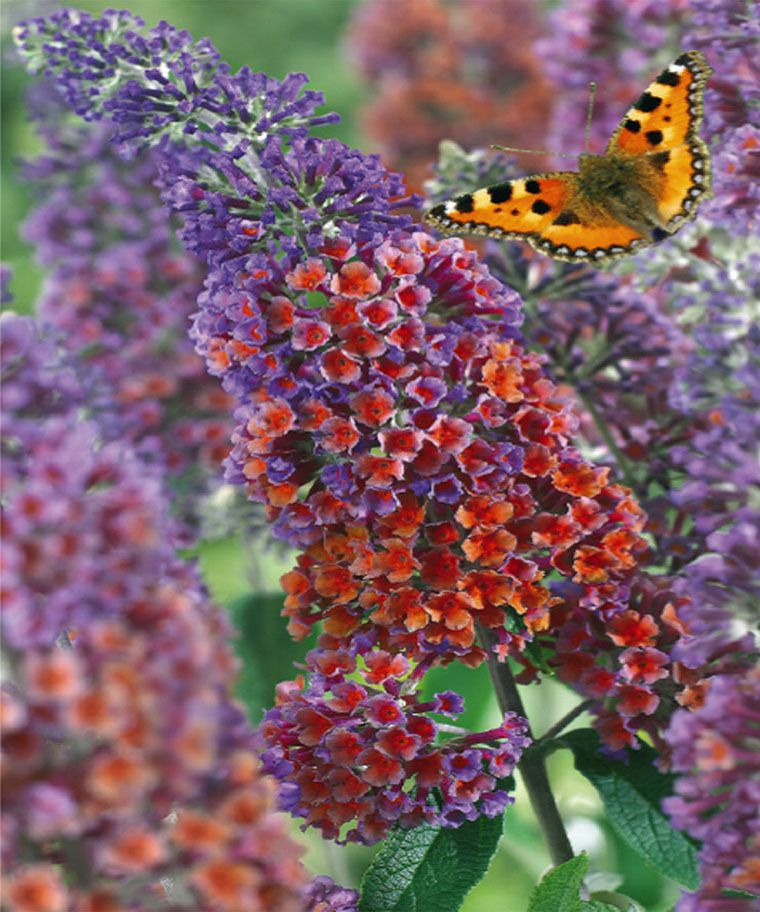 Pin By Leslie Sims On My Interflora Garden Buddleja Davidii Flowers Flower Power