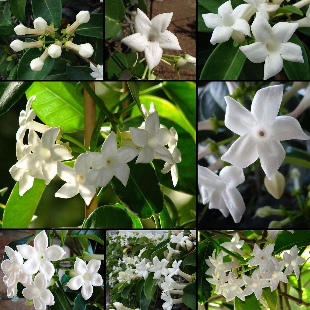 How To Grow Jasmine Flowers Indoors Stock Flower Images