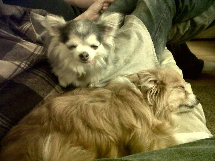 Mousie and Muffin - sisters from different misters. The most adorable long-haired Chihuahuas we know.