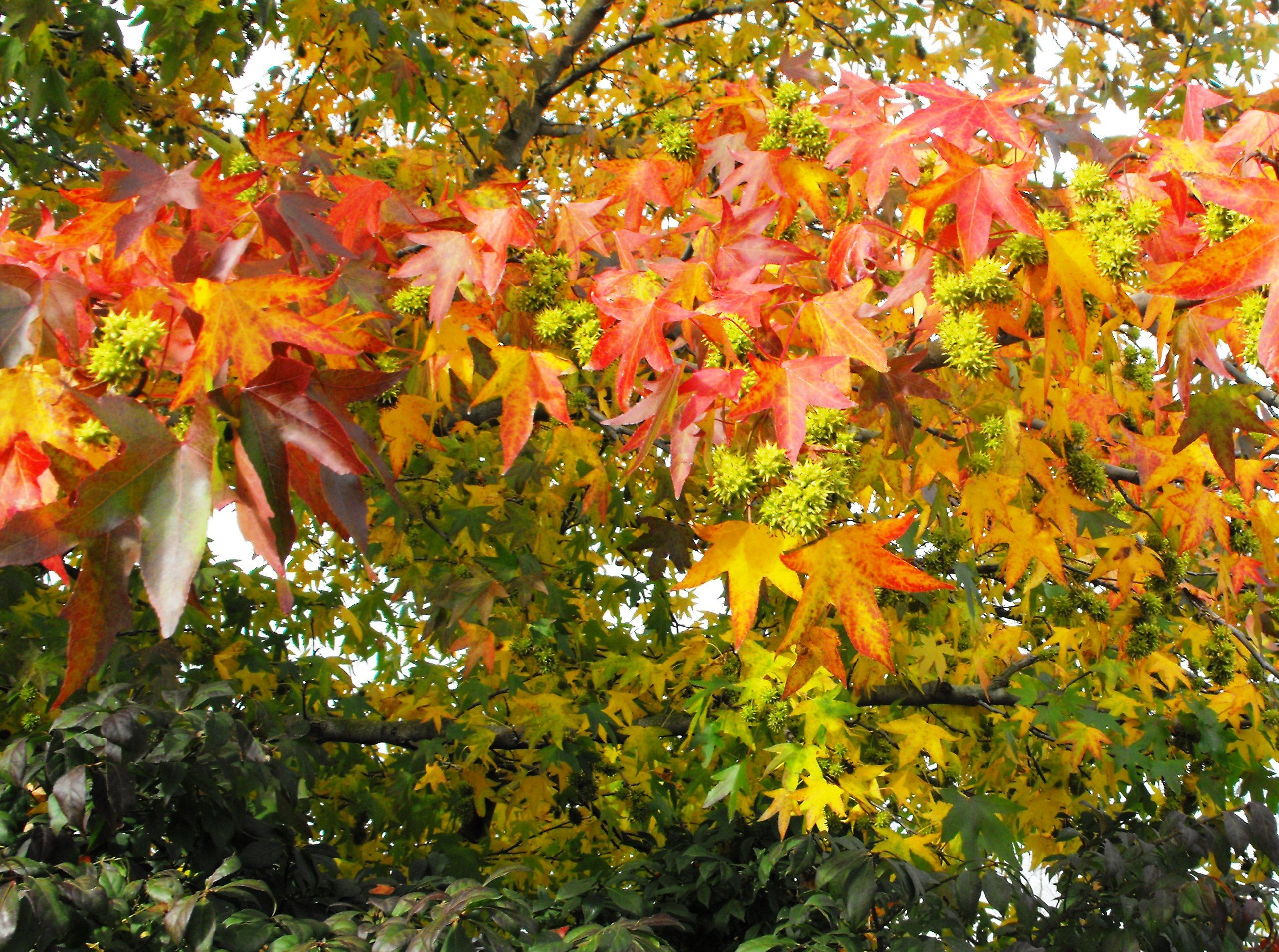 Fall Color Leaves Are A Variety Of Colors On Our Sweet Gum Tree Liquidambar From Yellow To Orange To Red To Purple Seed Pods Garden Inspiration Sweet Gum