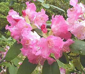 Rhododendron 'Pink Twins'