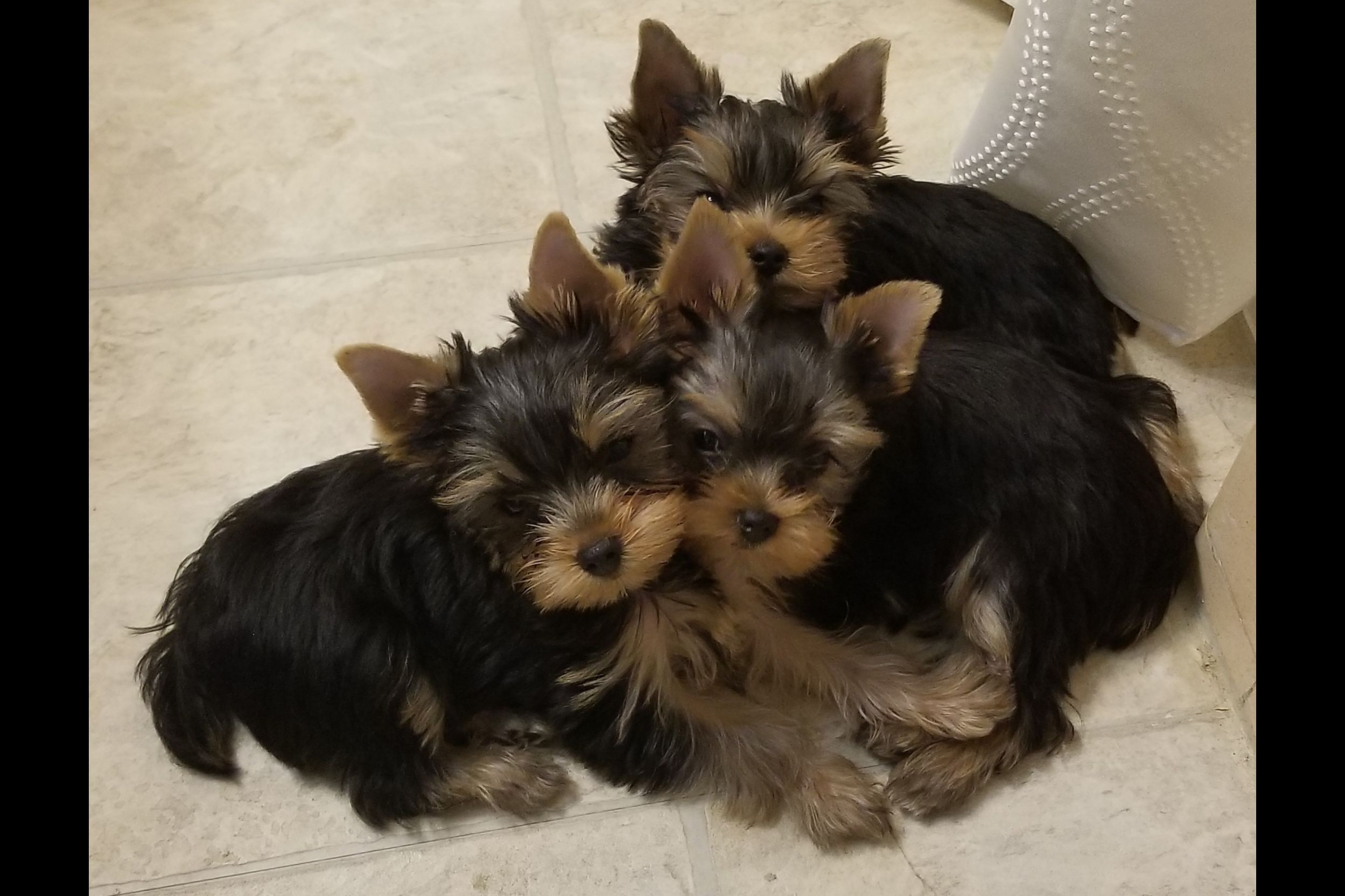 Suzabel's Yorkies Has Yorkshire Terrier Puppies For Sale In
