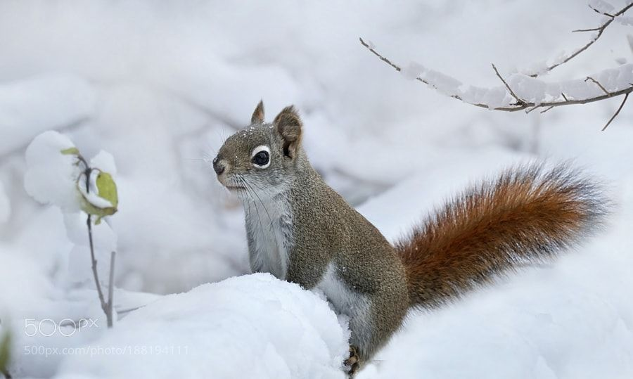 American red squirrel (Tamiasciurus hudsonicus) in Rocky Mountain ...