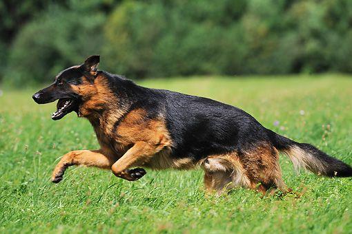 German Shepherds Have Black Masks And Black Body Markings Dogs