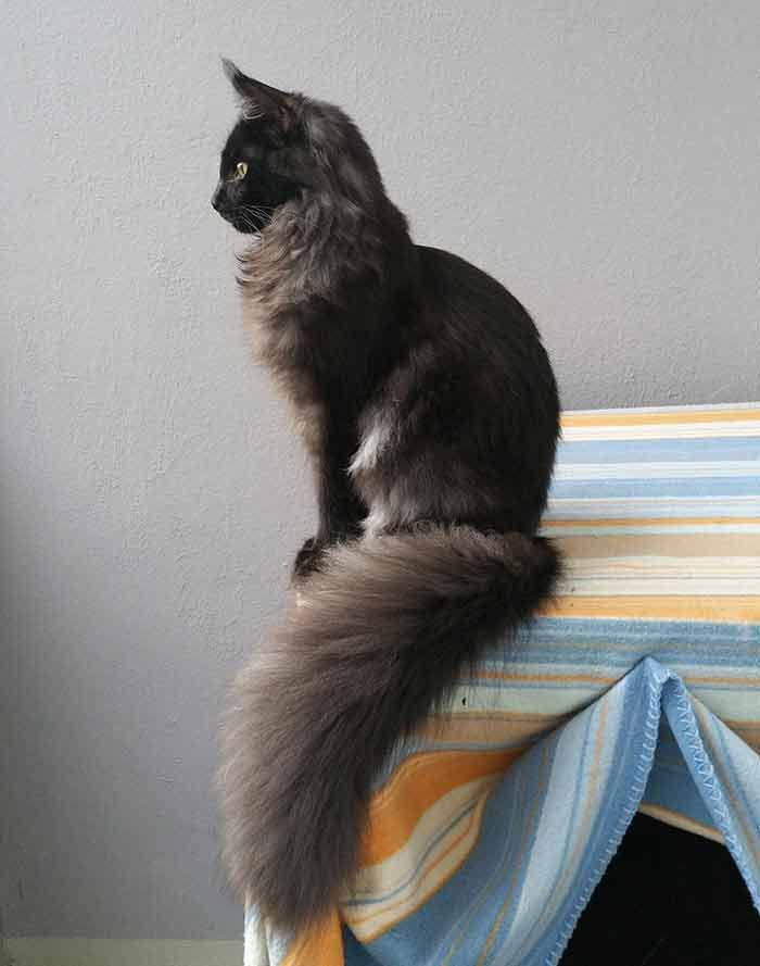 7-Months-Old Maine Coon Thinks He Is A Statue  #cats #kittens #mainecoon #mainecoonkitten