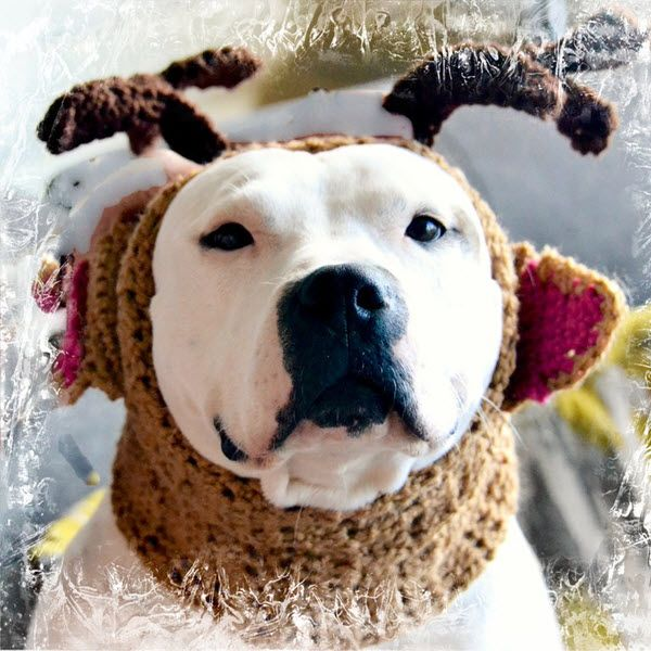 Shasta Is A Cute Lil Reindeer From Norcal Bully Breed Rescue