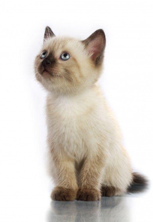 60 Sassy Siamese Cat Names Cute Baby Animals Pretty Cats Siamese Kittens