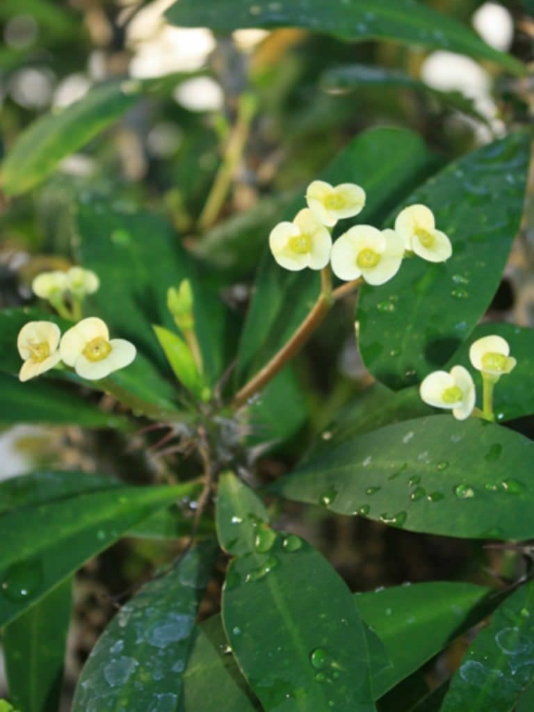 Euphorbia Milii F Lutea Yellow Crown Of Thorns Euphorbia