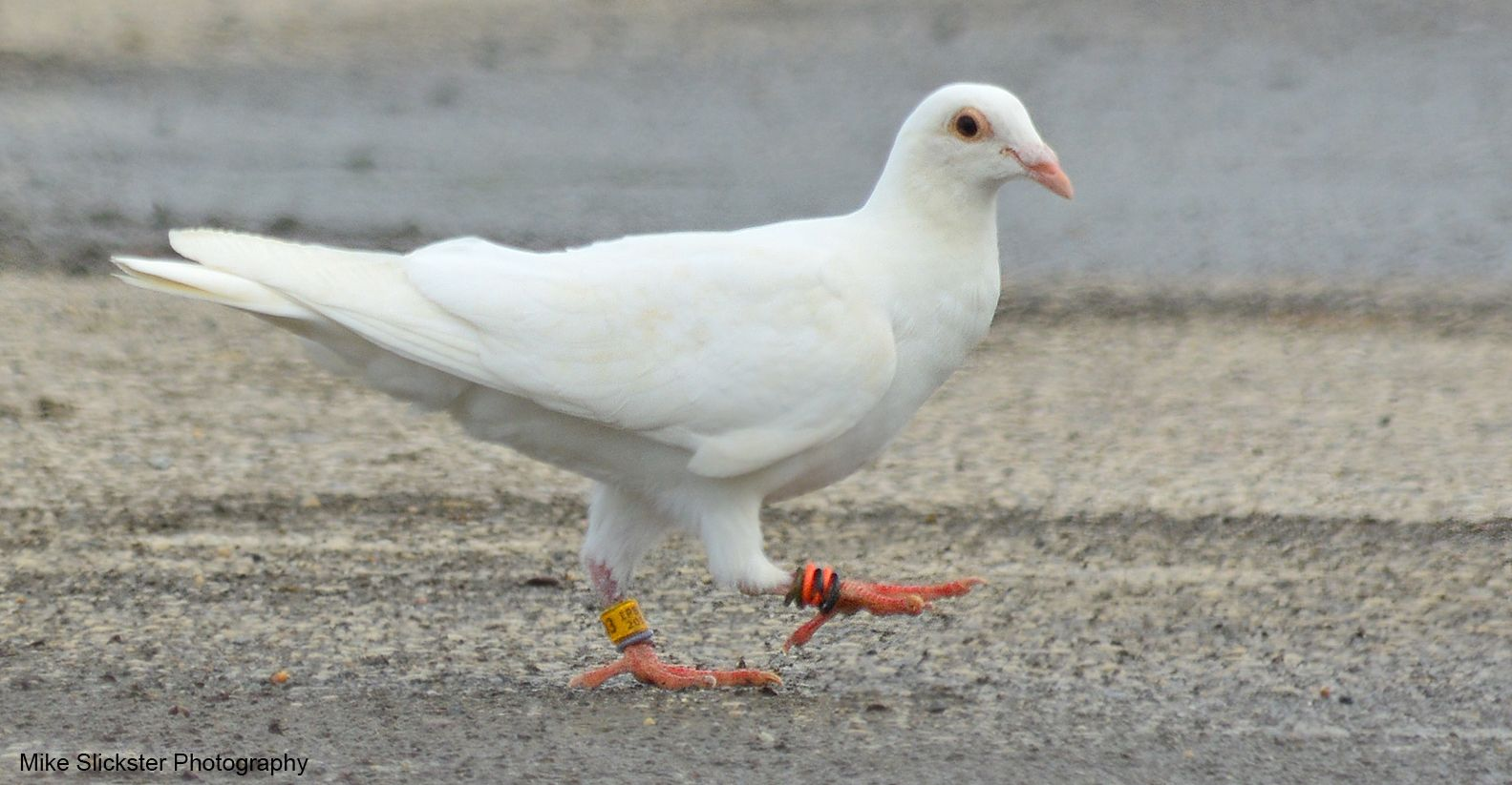 At First I Thought This Was An Albino Pigeon But Upon Researching I Found It S A Carrier Note The Bands On The Claws Its Eyes A The Claw Albino Bird Lovers