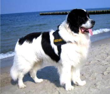 landseer dog cool dog breeds 2 pinterest dog animal and dog breeds. Black Bedroom Furniture Sets. Home Design Ideas