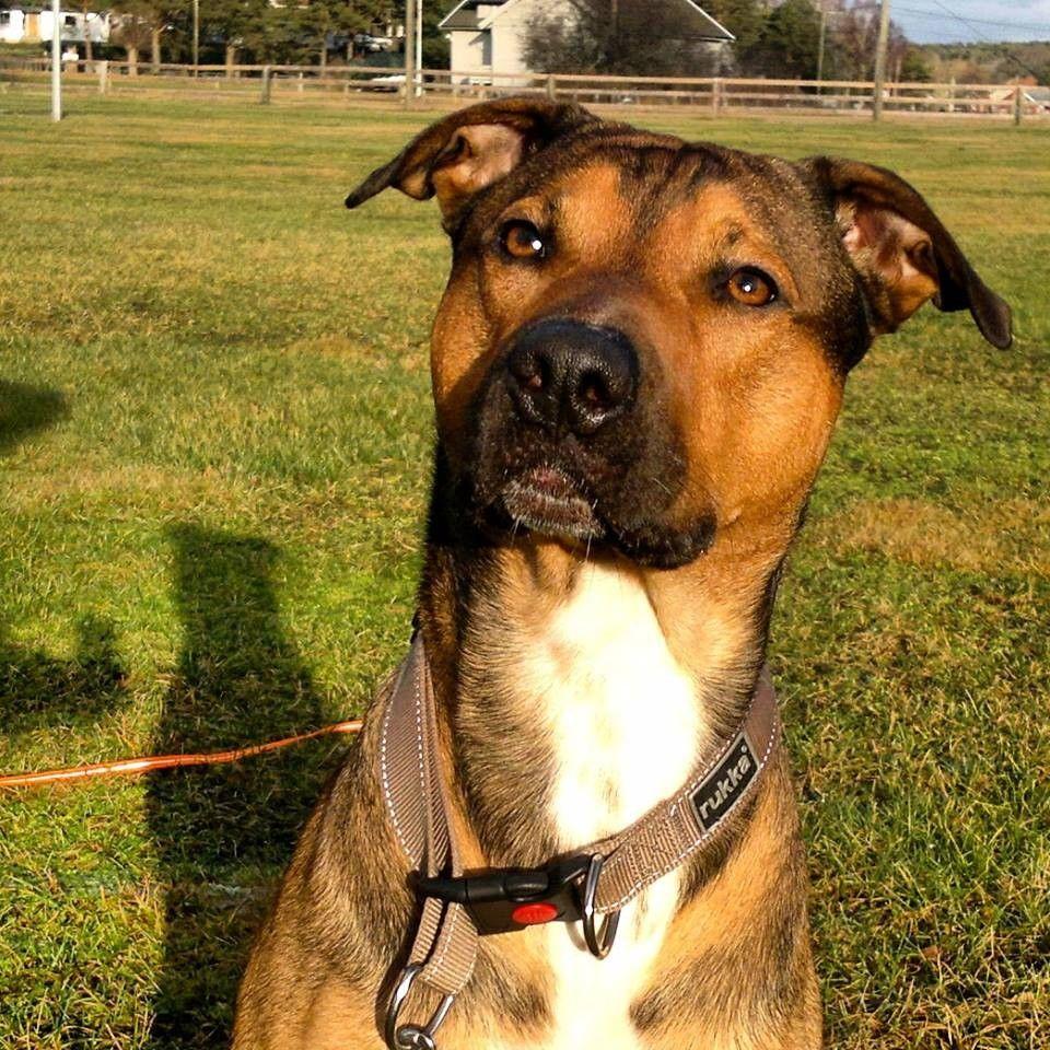 Finn Nydelig Boxweiler Trenger Forvert Snarest Puppy Love