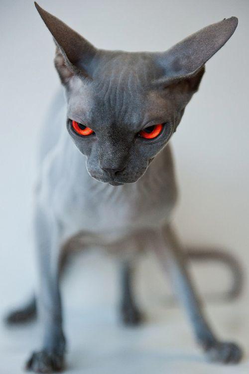 Desvre Sphynx Cat Hairless Cat Animals