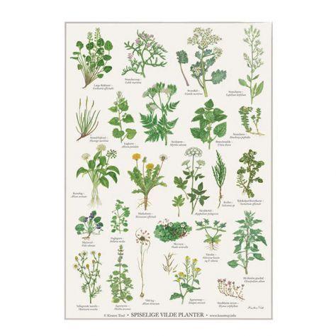 Spiselige Vilde Planter Plakat A2 Planter Plakater Naturlig Have