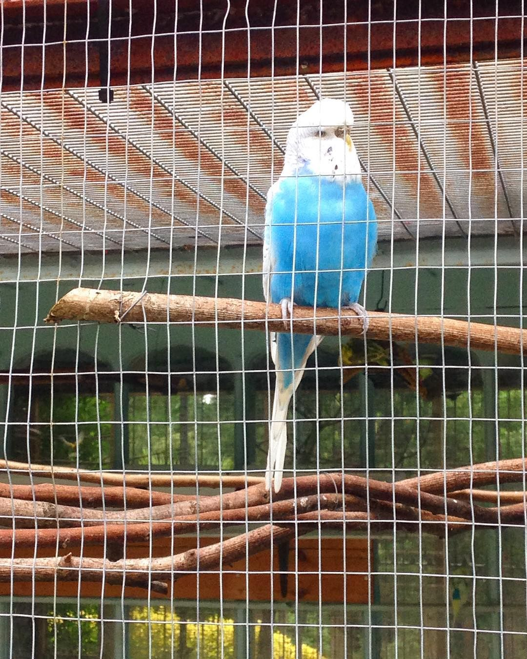 And a budgie