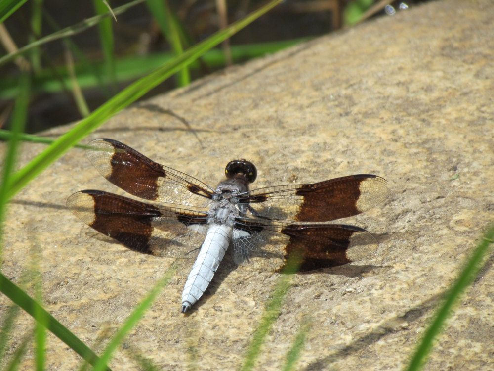 Dragonfly Stock Photo, No. 1, Royalty Free, No Credit Required