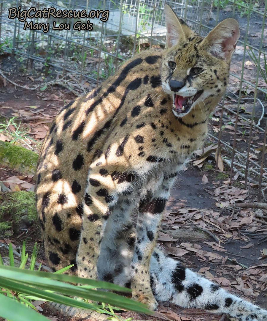 Just A Hissy Serval Hello From Des Serval Interesting Animals Big Cats Big Cat Rescue