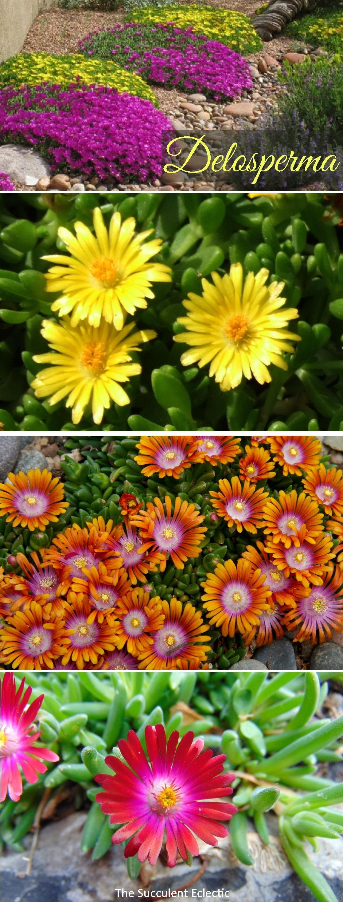 Species Spotlight Delosperma Hardy Ice Plant Plants Ice Plant Succulents