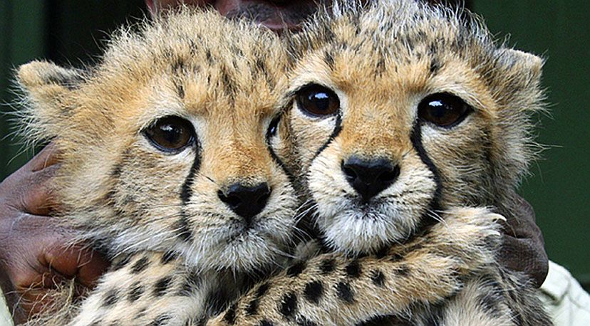 Two 3-month-old cheetah cubs, both girls, at the Nairobi Orphanage in Kenya. (the cubs were abandoned by their mother!)