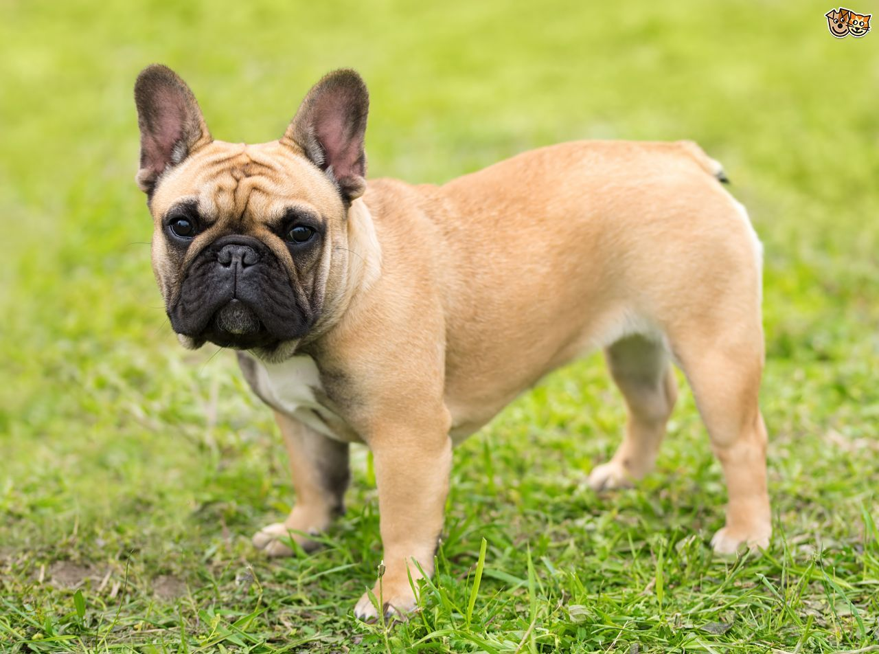 The French Bulldog Dog Breed (also known as Frenchies