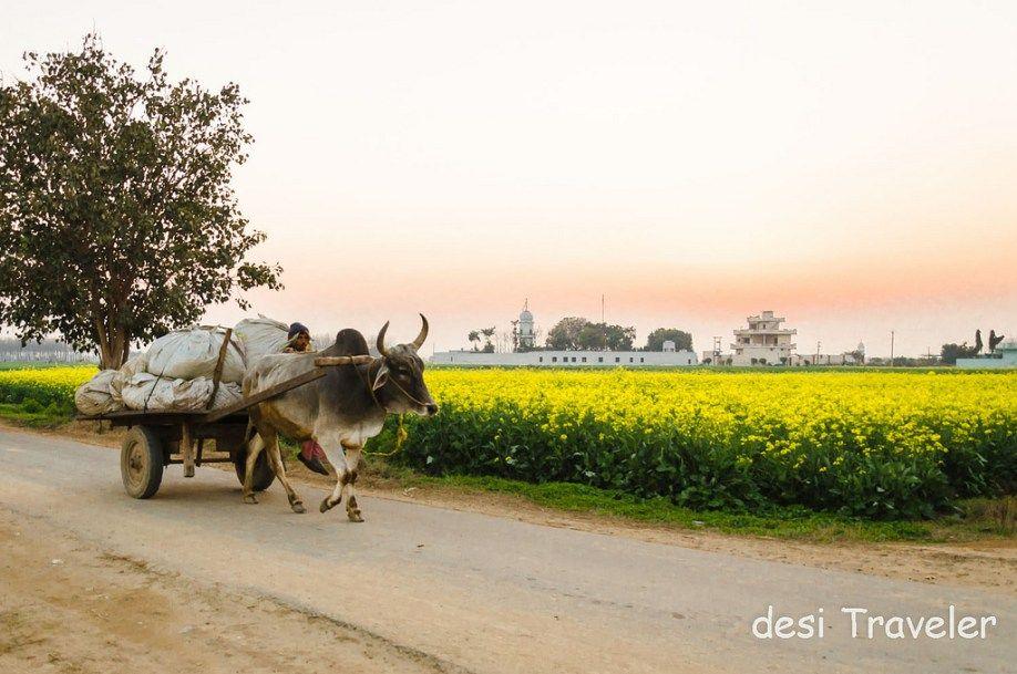 Bullock Cart Sarson Ke Khet Punjab Calendar Wallpaper