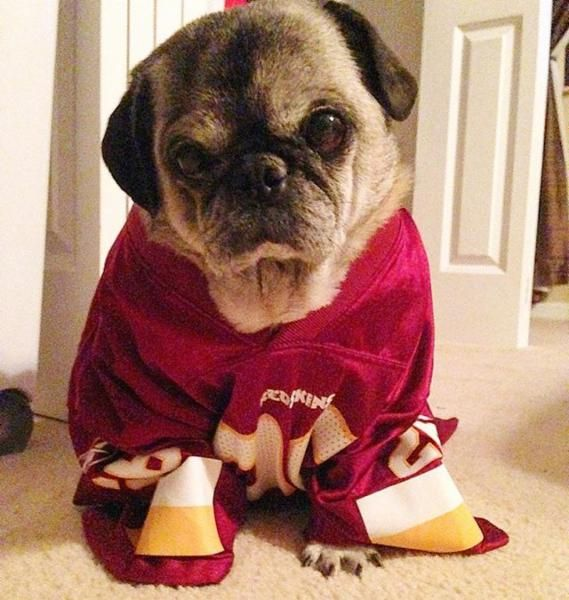 Rockie The Pug Only Roots For His Redskins Httr Washington