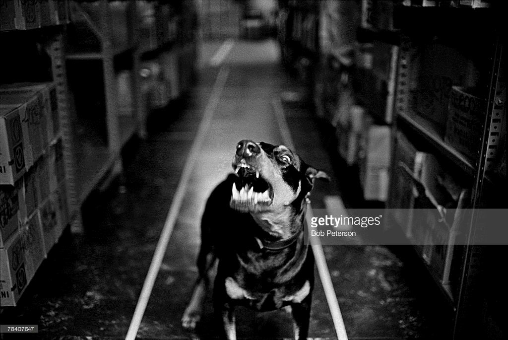 Snarling Doberman Pinscher Dog Guarding Warehouse Doberman