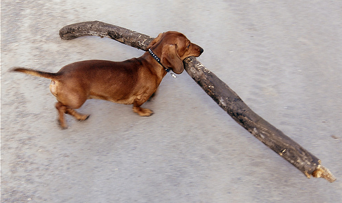 """""""As a dog thinketh in his heart, so is he"""". And the dachshund- thinketh he is BIG"""