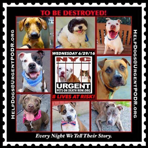 "8 BEAUTIFUL LIVES TO BE DESTROYED 06/29/16 @ NYC ACC ~ This is a HIGH KILL ""CARE CENTER"". Too many great dogs put down daily! Babies, puppies, mamas, healthy, friendly dogs. POOR LIVING CONDITIONS & MINIMAL CARE. Please Share! Click for info & Current Status: http://nycdogs.urgentpodr.org/to-be-destroyed-4915/"