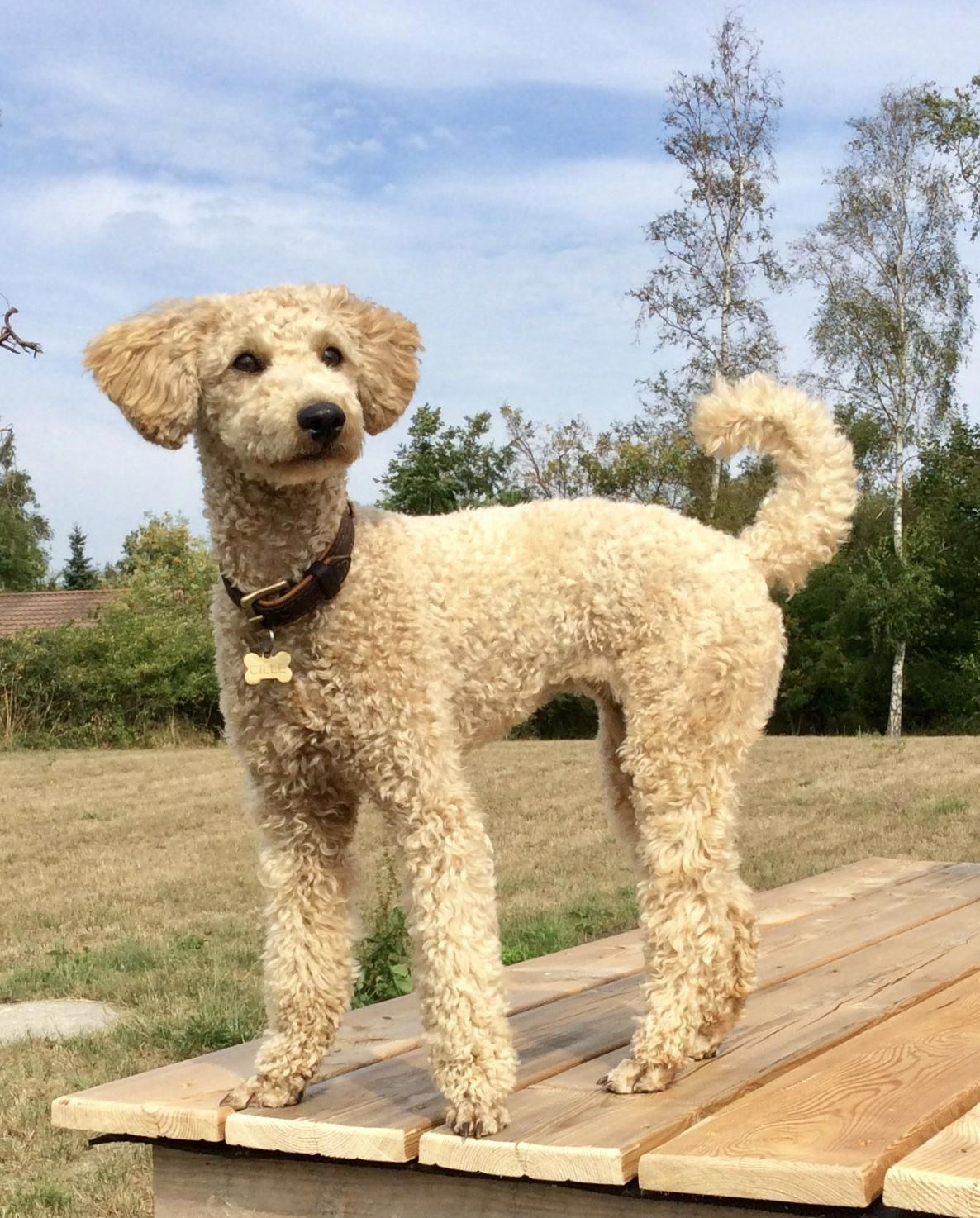 the many things we like about the proud poodle dogs