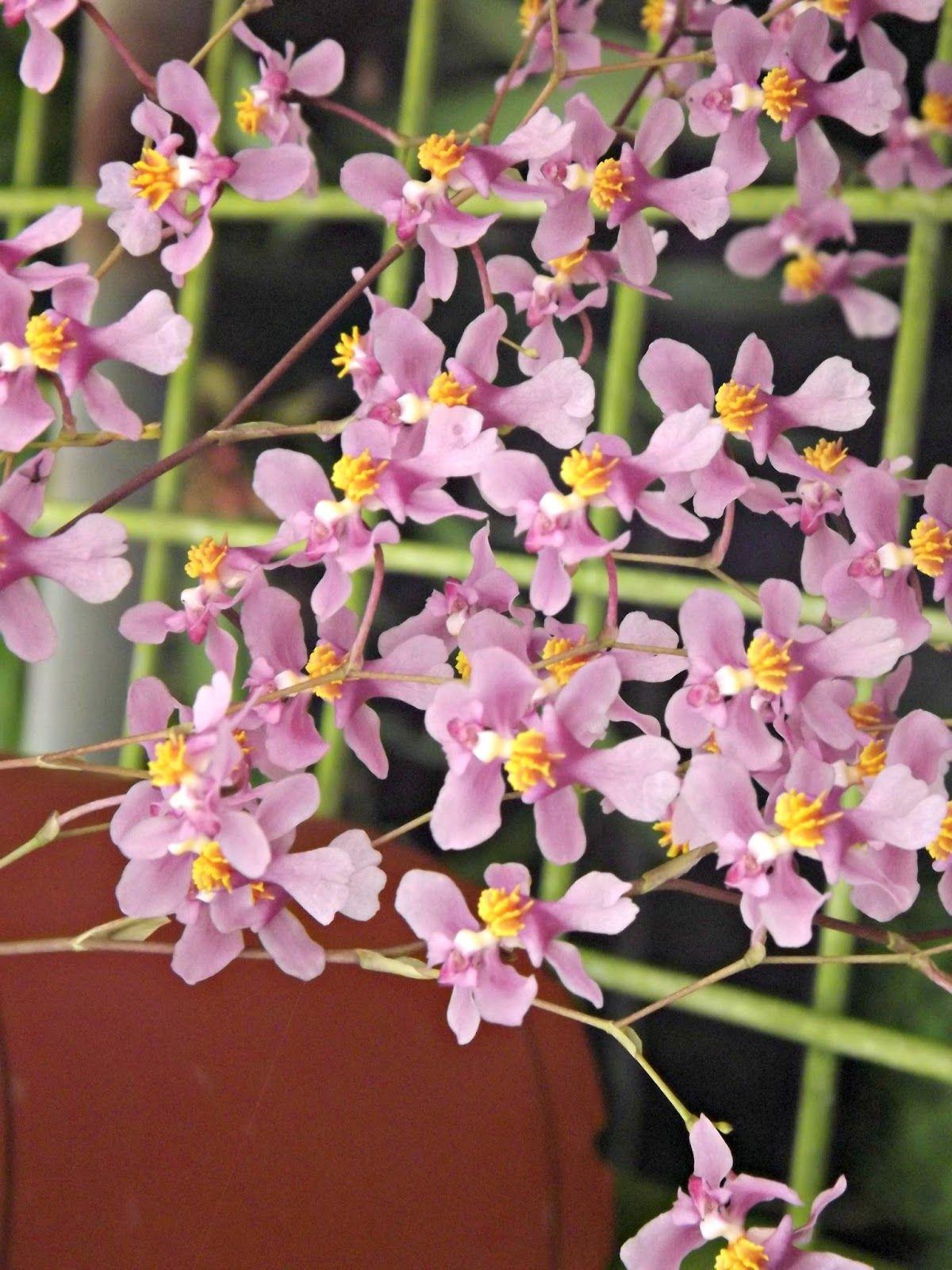 Oncidium /'Twinkle 'White Shower'   Very Fragrant 2 flower spikes.