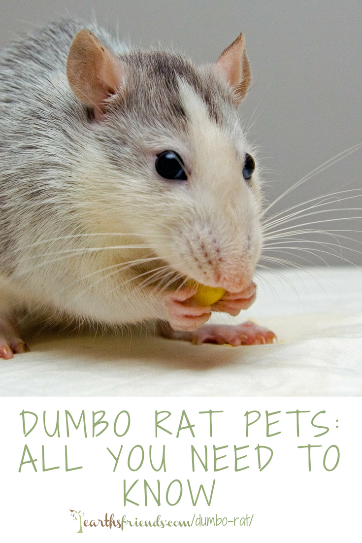 Dumbo Rat Rodent As Pets Dumbo Rat Rat Care Rats