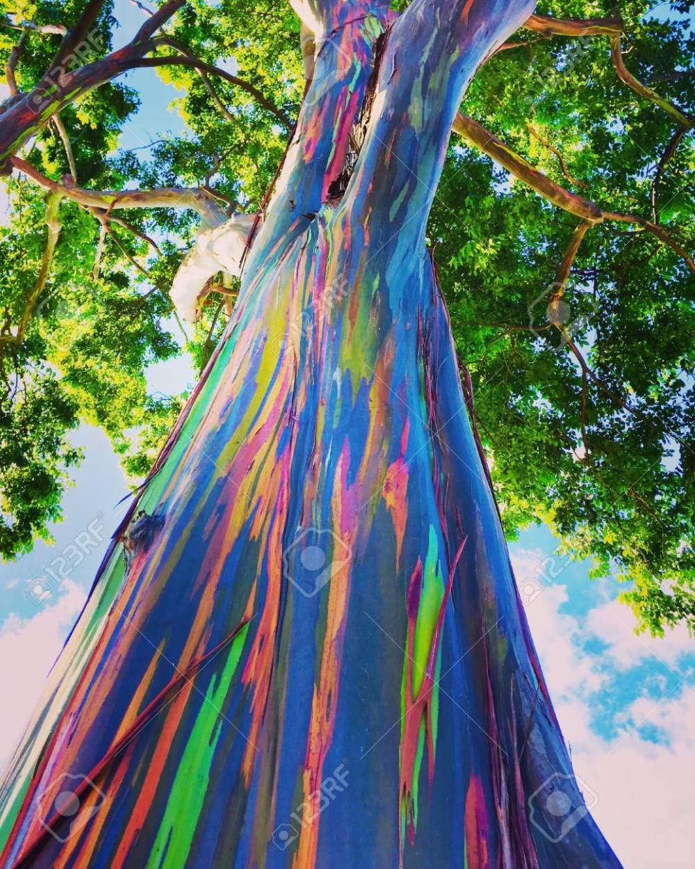 Stock Photo Rainbow Eucalyptus Tree Rainbow Eucalyptus Eucalyptus Deglupta