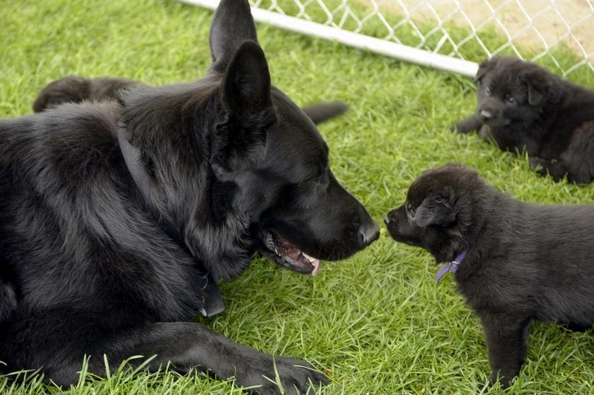 I Used To Have A Beautiful All Black German Shepherd Bowser Was