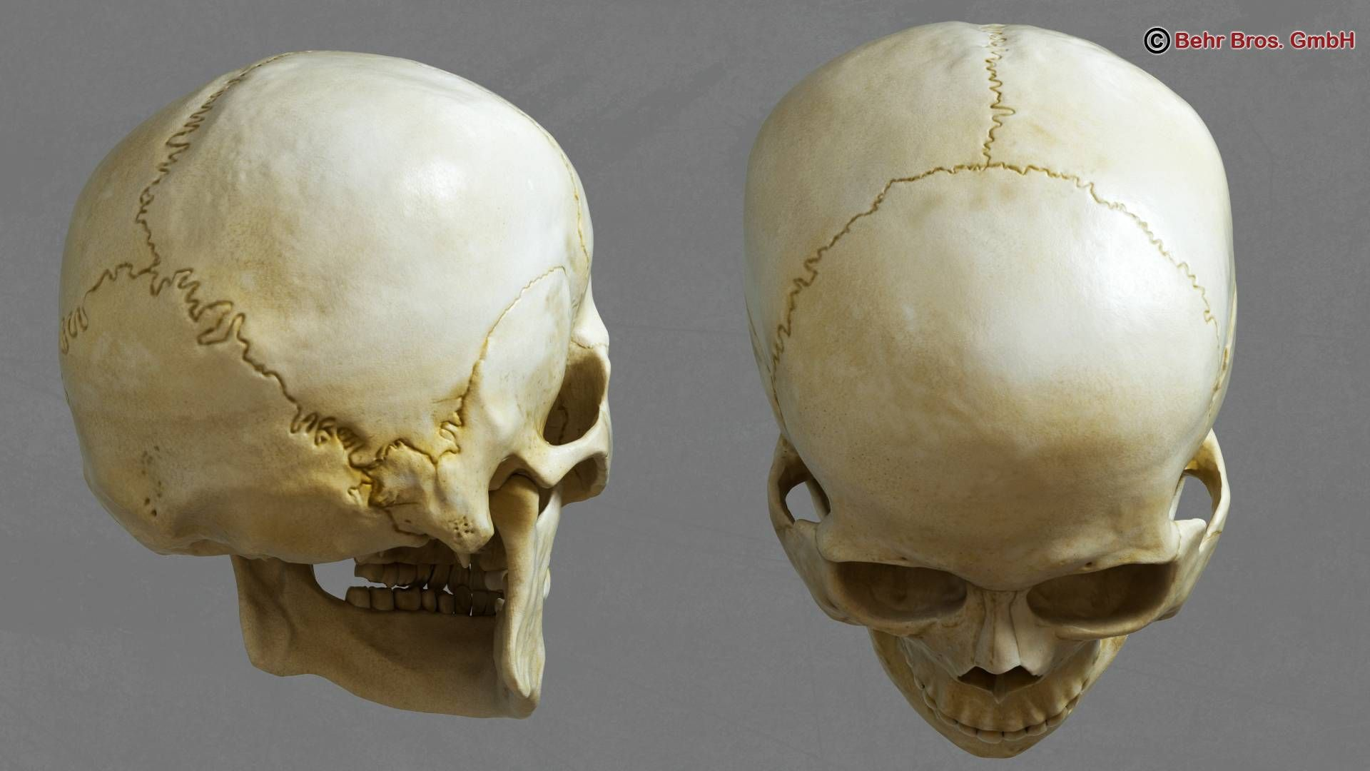 Human skull, 3/4 back and top view. Human skull, Skull