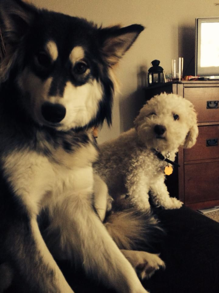Malamute and Bichon
