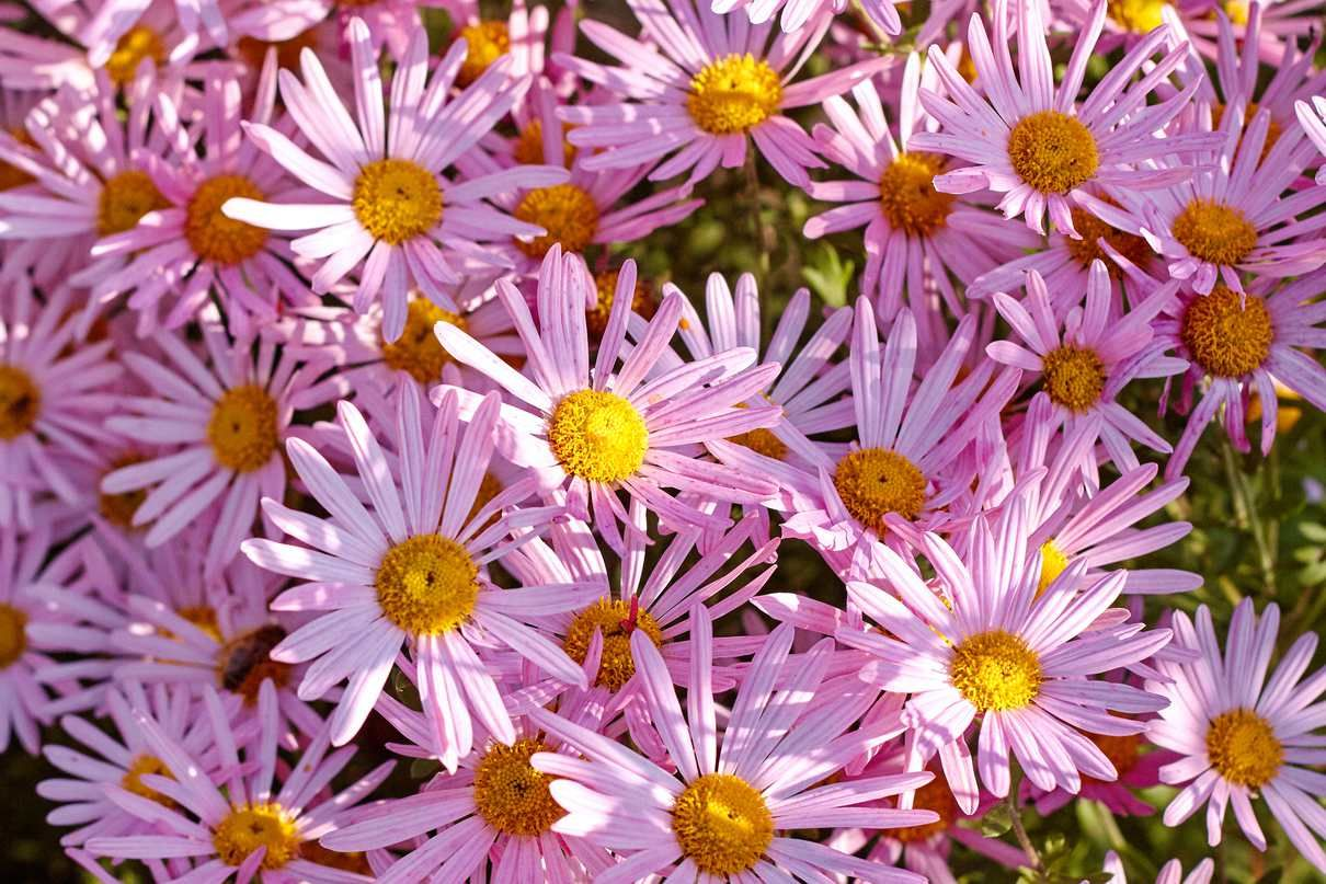 25 Plants That Grow In Clay Soil With Images Plants Annual Plants Aster Flower