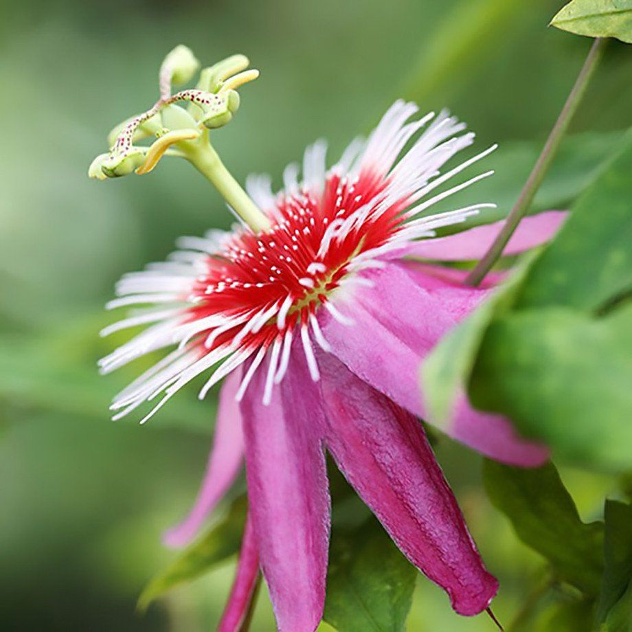 Passion flower passiflora anastasia passion flower easy