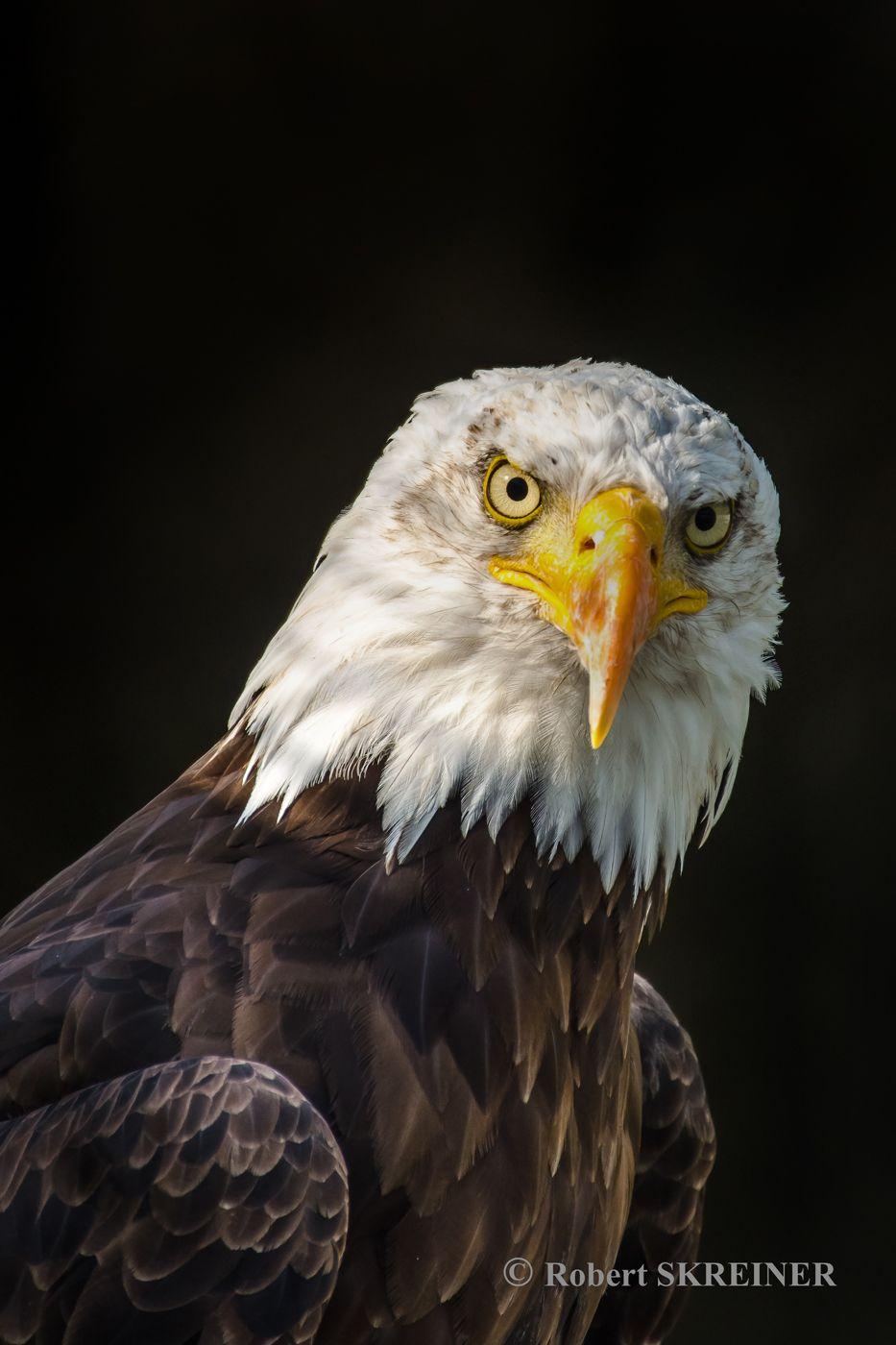 Bald Eagle  (Haliaeetus leucocephalus)  - Weißkopfseeadler Pygargue à tête blanche - Águila calva - Águia-de-cabeça-branca Aquila di mare testabianca wingspan 1.8 - 2.3 m (5.9 - 7.5 ft),  weight 3 - 6.3 kg (6.6 - 13.9 lb) See more photos at: SKREINER.COM