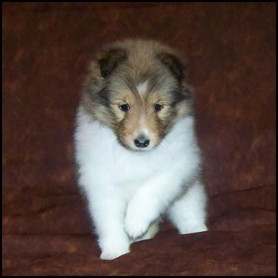 sheltie dogs for adoption Sweet Sheltie puppies for