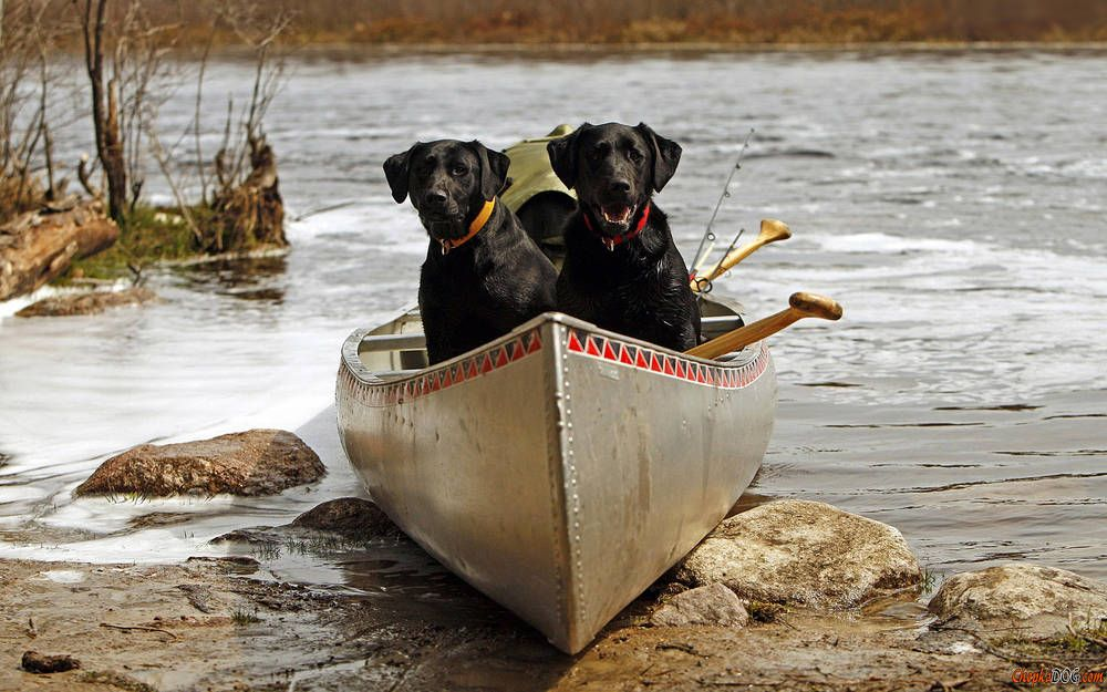 Labrador Retrievers In The Boat Tiere Hund Schwarze Hunde Schwarzer Labrador