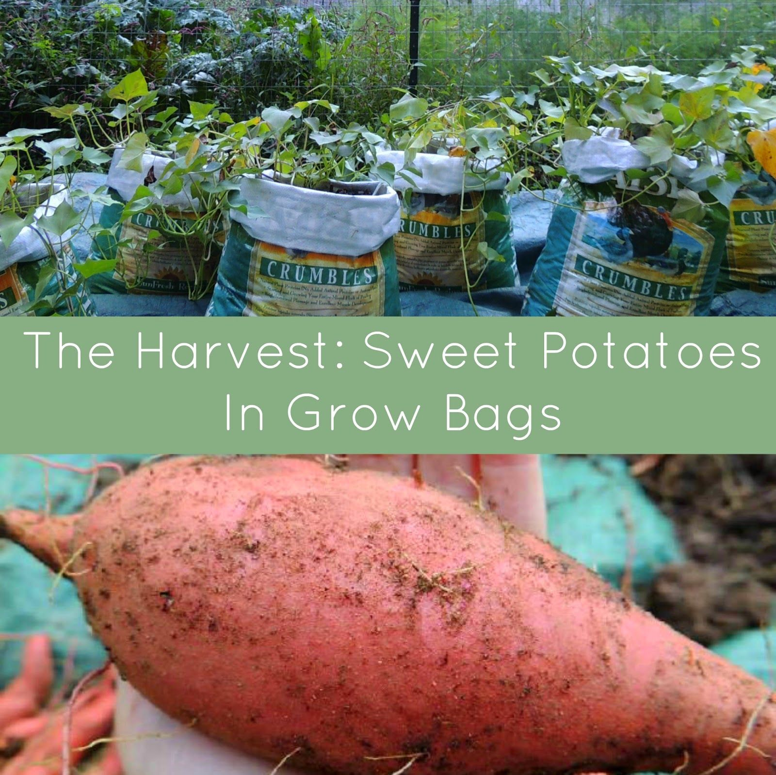 Image Result For Growing Sweet Potatoes