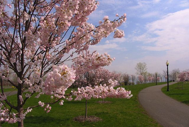 115 Cherry Blossom Trees Awarded To Beautify Belle Isle Cherry Blossom Tree Belle Isle Belle Isle Detroit