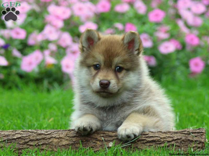 Pete Pomsky Puppy For Sale In Lancaster Pa Puppies Pomsky Puppies Pomsky Puppies For Sale