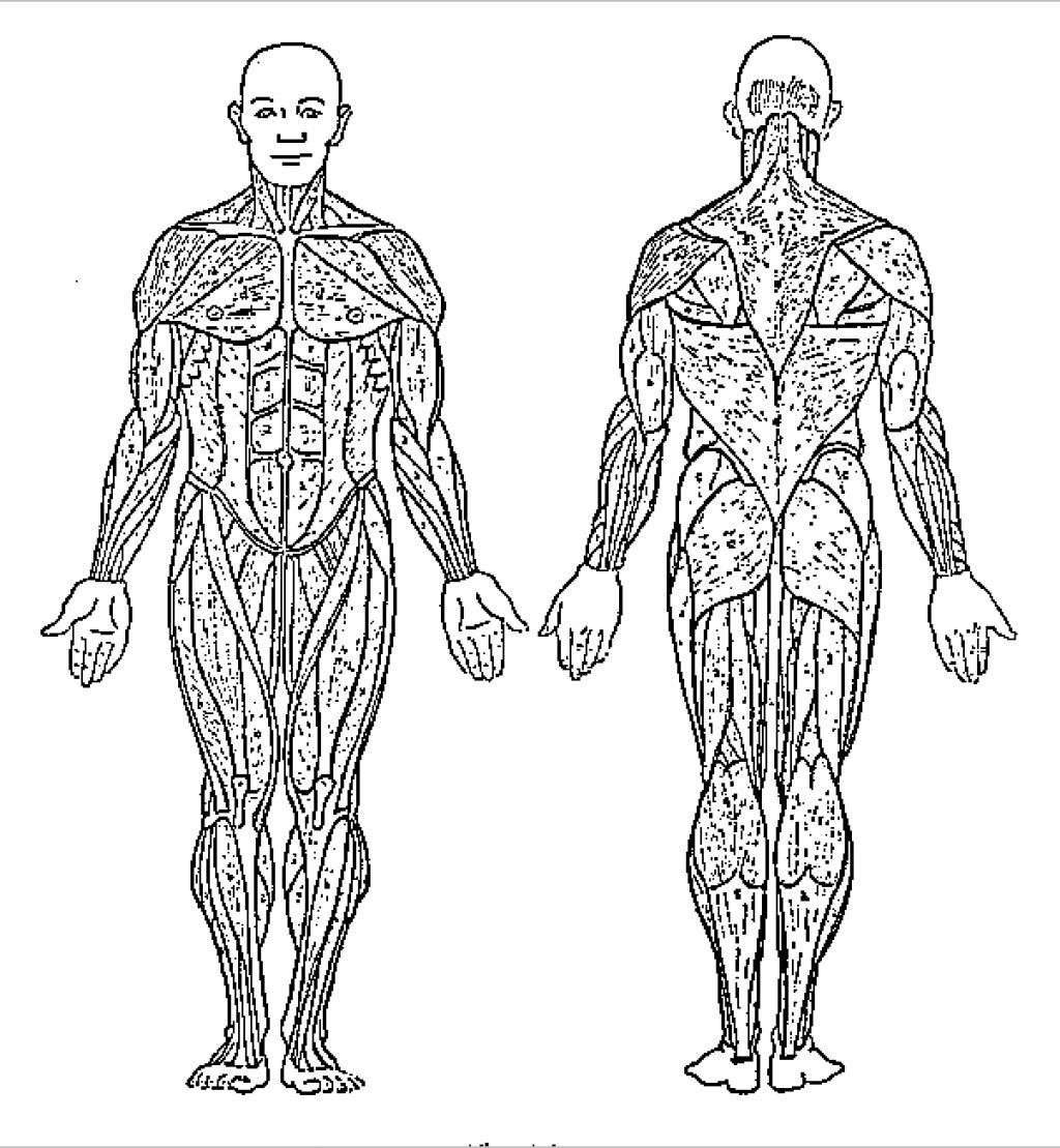 Muscle Coloring Pages Anatomy Printable Pictures Muscle
