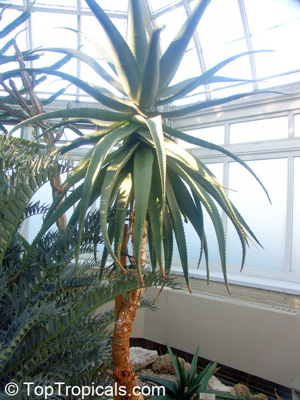 aloe trees for sale aloe africana african aloeclick to see full size image garden. Black Bedroom Furniture Sets. Home Design Ideas