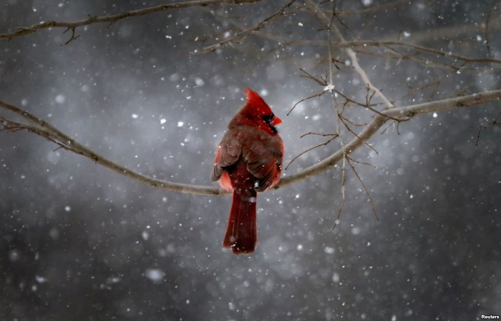 A Northern Cardinal sits on a tree branch in falling snow in the New York City suburb of Nyack, New York, Jan. 21, 2014. A fast-moving winte...